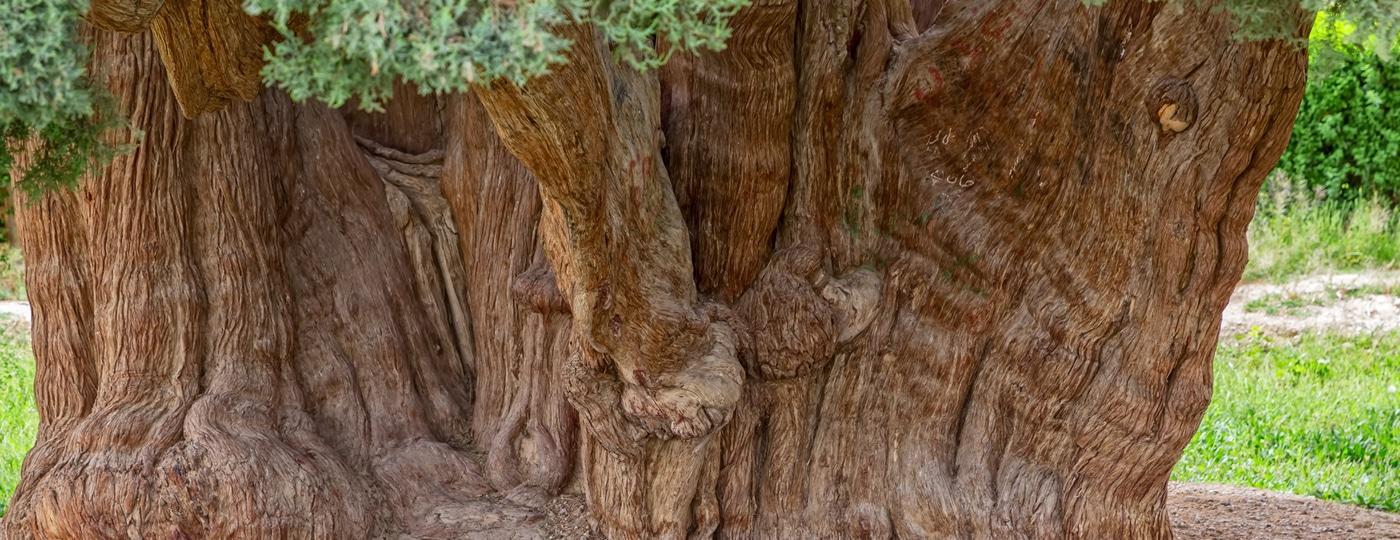 Prehistoric Cedar (1)