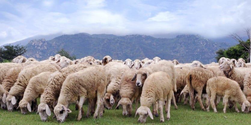 Spiritual Meaning of Sheep