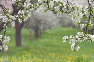 """""""Spring orchard, blooming apple trees."""""""